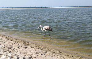 Серый фламинго поселился в речке Лахиш