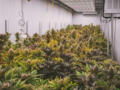Житель Ашдода выращивал 240 саженцев марихуаны в своей квартире в районе сити